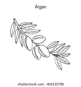 Argan, Argania spinosa. Hand drawn botanical vector illustration.