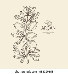 Argan: branch of argan with leaves nuts. Cosmetic and medical plant. Vector hand drawn illustration.