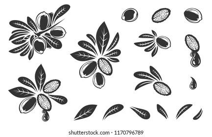 Argan vector drawing. Isolated vintage illustration of nut. Argania. Organic essential oil engraved style sketch. Beauty and spa, cosmetic ingredient. Argan oil. Great for label, packaging design.