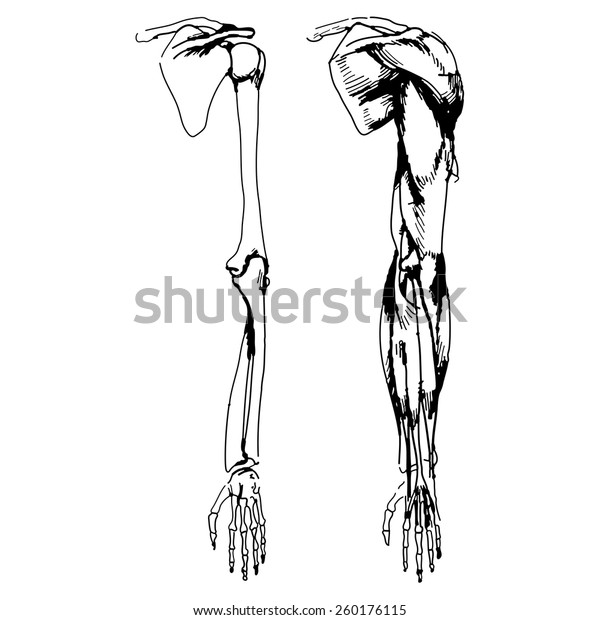 Arm Bones Muscle Vector Illustration Parts Stock Vector
