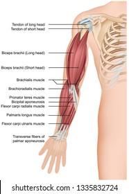Arm muscle anatomy 3d medical vector illustration forearm