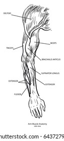 Arm Muscle Anatomy, side view. Vector. Black and White
