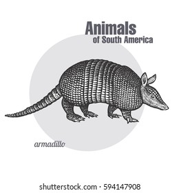 Armadillo hand drawing. Animals of South America series. Vintage engraving style. Vector illustration art. Black and white. Object of nature naturalistic sketch.