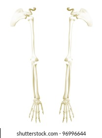 Arms anatomical model