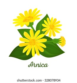 Arnica composition with flowers, buds and leaves. Floral design. Medicinal plant.