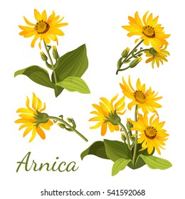 Arnica floral composition. Set of flowers with leaves, buds and branches. Sunflower family yellow botany medical aromatherapy element