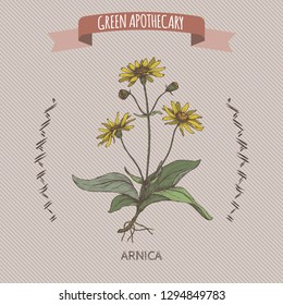 Arnica montana aka mountain tobacco or mountain arnica color sketch. Green apothecary series. Great for traditional medicine, or gardening.