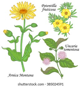 Arnica Montana, potentilla fruticosa, uncaria tomentosa. Set of plants and flowers for alternative medicine. Isolated image on white background. Vector illustration.
