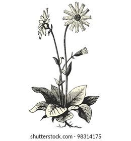 """Arnica Montana - vintage engraved illustration - """"Dictionnaire encyclop�©dique universel illustr�©"""" By Jules Trousset - 1891 Paris"""
