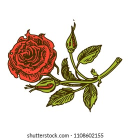 Aroma flowers. Rose. Color. Engraving style. Vector ilustration.