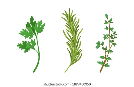 Aromatic Herbs with Parsley and Rosemary for Flavoring and Garnishing Food Vector Set