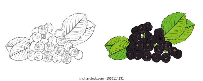 Aronia line illustration