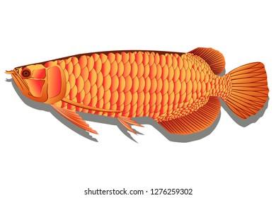 Arowana fish graphic vector