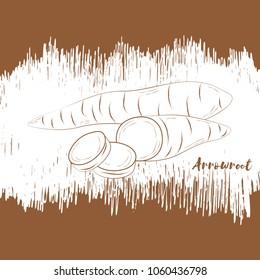 Arrowroot.Hand drawn design. Vector illustration