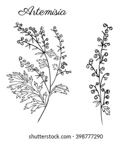 Artemisia absinthium or wormwood engraving vector illustration isolated on white background Also called absinthium, absinthe, common wormwood, Healing herb, Absinthe plant for design cosmetic, alcohol