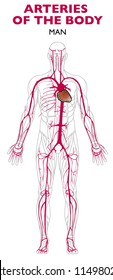 Arteries in the human body, anatomy. An artery is a blood vessel that takes blood away from the heart to all parts of the body