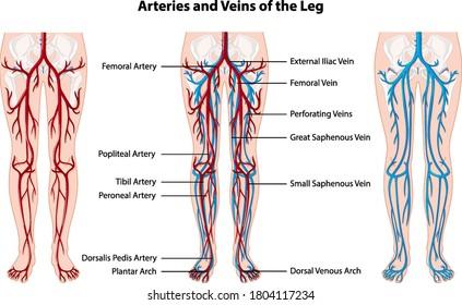 Artery Leg Images Stock Photos Vectors Shutterstock