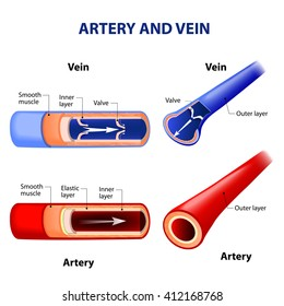 artery and vein. Circulatory system. Vector.