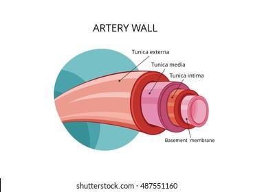Artery wall. Vector illustration