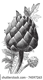 Artichoke, globe artichoke or Cynara cardunculus old engraving. Old engraved illustration of a close-up of an artichoke bud.