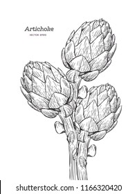 Artichoke. Set of hand drawn artichoke. Fresh organic food. Vector illustration with sketch vegetable.