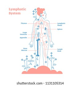 Artistic lymphatic system anatomical vector illustration diagram poster, decorative and elegant medical scheme with lymph nodes and tissue fluid circulation flow network.Stylized outline female design