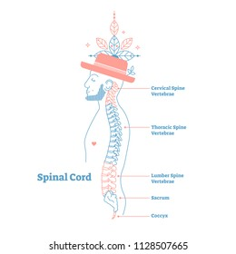 Artistic style anatomical spine vector illustration with conceptual decorative elements. Cervical, thoracic, lumber, sacrum and coccyx sections labeled scheme.Male cross section medical diagram poster