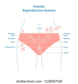 Artistic style female reproductive system vector illustration educational poster. Health and medicine labeled diagram,female sexual organ cross section with uterus, ovary, cervix and vagina.