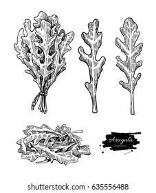 Arugula leaf hand drawn vector illustration set. Isolated Vegetable engraved style object. Detailed vegetarian food drawing. Farm market salad. Great for menu, label, icon