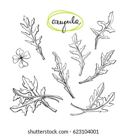 Arugula leaves set/ Culinary herbs and spices sketch/ Hand drawn rucola isolated on white background/ Vector illustration