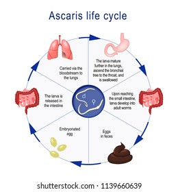 Ascaris life cycle.  The arrows indicate the direction of worm migration in the human body and environment. illustration for medical, educational, science use
