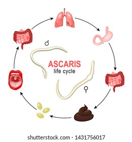 Ascaris. life cycle. the most common human nematode infection. Worms grow and reproduction in human body, and production of eggs or larvae which are passed out via the faeces to the environment