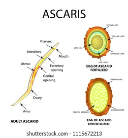 Ascaris the structure of an adult. Fertilized and unfertilized egg. The structure of the egg ascarids. Set. Infographics. Vector illustration on isolated background.