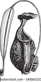 Ascidium is a genus of simple ascidians. The plant is organ shaped like a cup or pitcher, vintage line drawing or engraving illustration.