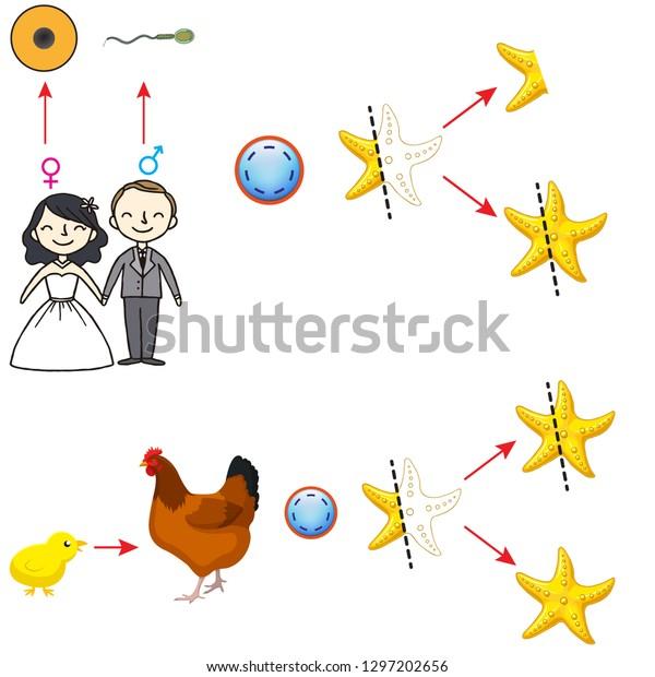 Asexual Reproduction Starfish Reproduction Human Stock Vector