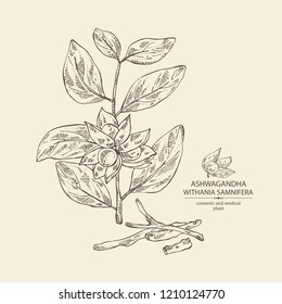 Ashwagandha: branch, berries and root of withania somnifera . Cosmetic and medical plant. Vector hand drawn illustration.