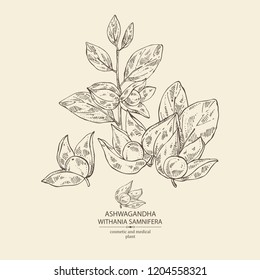Ashwagandha: branch, berries of withania somnifera . Cosmetic and medical plant. Vector hand drawn illustration.