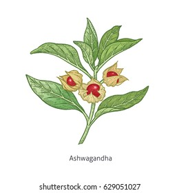 Ashwagandha. Color medical herbs and plants Isolated on white background series. Vector illustration. Art sketch. Hand drawing object of nature. Vintage engraving style. Green and red.