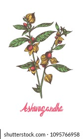 Ashwagandha, known as Withania somnifera, Indian ginseng, poison gooseberry,or winter cherry popular superfood berry