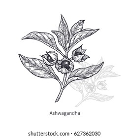 Ashwagandha. Medical herbs and plants Isolated on white background series. Vector illustration. Art sketch. Hand drawing object of nature. Vintage engraving style. Black and white.