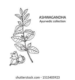 Ashwagandha (Withania somnifera). Ayurvedic healing plant. Hand drawn vector illustration in sketch style.