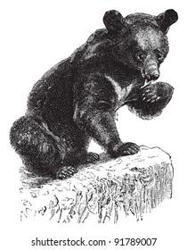 Asian black bear (Ursus thibetanus) / vintage illustration from Meyers Konversations-Lexikon 1897