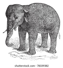 Asian Elephant or Asiatic elephant or Elephas maximus, vintage engraving. Old engraved illustration of an Asian Elephant or Elephas maximus. Trousset Encyclopedia