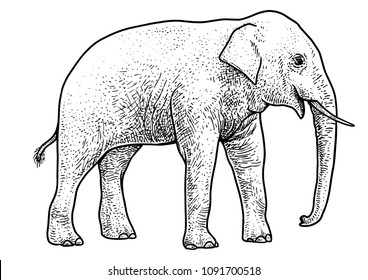 Asian elephant illustration, drawing, engraving, ink, line art, vector