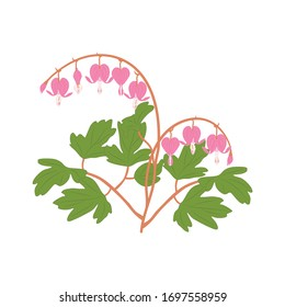 Asian flower isolated on white background with bleeding heart, heart shaped pink and white flower, lyre flower, heart flower and lady in a bath. Great for icon, symbol, logo, card design.
