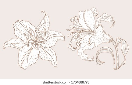 Asian Lily inflorescence and steam flower in vintage sketching style