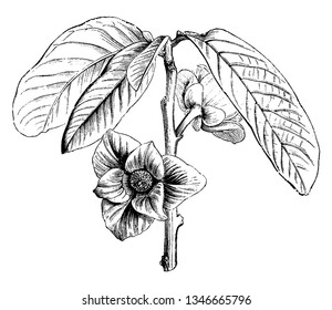 Asimina Triloba is a small deciduous tree. It is mostly found in eastern United States and Canada, vintage line drawing or engraving illustration.