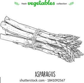 Asparagus. Detailed line art. Freehand drawing. Vector vegetables. Collection of fresh vegetables.