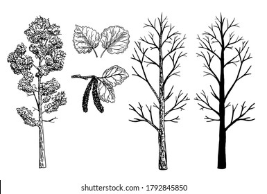 Aspen tree sketch set. A tree without leaves in winter. Aspen silhouette. Aspen leaves. A tree in summer and winter without leaves.