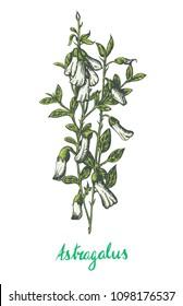 Astragalus popular superfood
